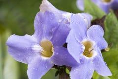 Laurel clock vine, Blue trumpet vine flowers. Royalty Free Stock Photo