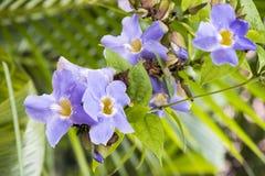 Laurel clock vine, Blue trumpet vine flowers. Stock Image
