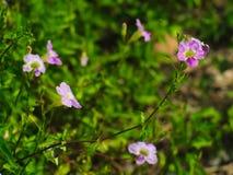 Laurel Clockvine eller Thunbergialaurifolia arkivbild
