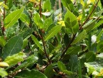 Laurel. Closeup view of Laurel leaves royalty free stock photography