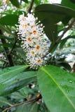 Laurel de cereza o laurel común (laurocerasus del Prunus) imagen de archivo libre de regalías
