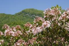 Laurel de montaña Imagen de archivo libre de regalías