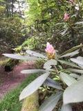 Laurel de montaña en el bosque foto de archivo