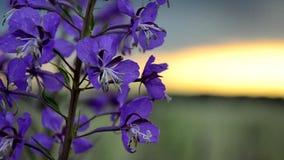Laurel de San Antonio en la brisa en la puesta del sol almacen de video
