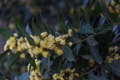 The laurel flowered in spring in the organic garden royalty free stock photography
