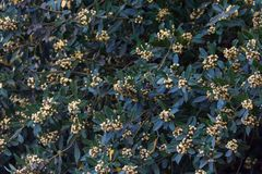The laurel flowered in spring in the organic garden stock photos