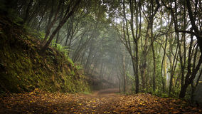 Laurel Forest. In Tenerife Island royalty free stock photos