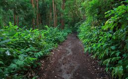 Subtropical forest of Sete cidades in Sao Miguel island. Laurel forest, also called laurisilva or laurissilva, is a type of subtropical forest with native Royalty Free Stock Image