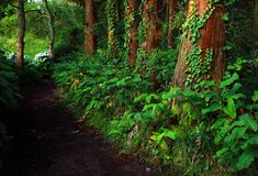 Subtropical forest of Sete cidades in Sao Miguel island. Laurel forest, also called laurisilva or laurissilva, is a type of subtropical forest with native Stock Photo