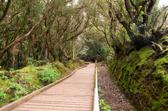 Laurel forest. In Anaga National Park, Tenerife, Canary islands, Spain royalty free stock photography