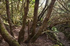 Laurel forest Stock Images