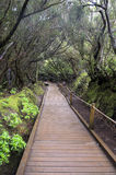 Laurel forest. Anaga.Tenerife Stock Image