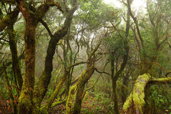 Laurel forest in Canary Islands Royalty Free Stock Photos