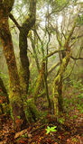 Laurel forest in Canary Islands Royalty Free Stock Photography