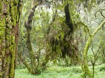 Laurel forest in fog, El Hierro, Canary Islands, Spain. Laurel forest in fog, El Hierro, Canary Islands in Spain stock photos