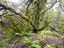 Laurel forest in fog, El Hierro, Canary Islands, Spain. Laurel forest in fog, El Hierro, Canary Islands in Spain royalty free stock photo