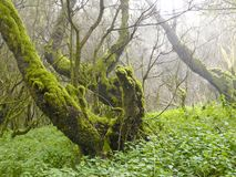 Laurel forest in fog, El Hierro, Canary Islands, Spain. Laurel forest in fog, El Hierro, Canary Islands in Spain stock image