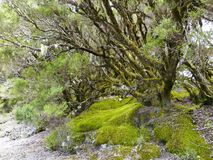 Laurel forest in fog, El Hierro, Canary Islands, Spain. Laurel forest in fog, El Hierro, Canary Islands in Spain stock images