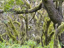 Laurel forest in fog, El Hierro, Canary Islands, Spain. Laurel forest in fog, El Hierro, Canary Islands in Spain royalty free stock image