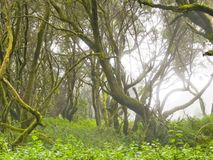 Laurel forest in fog, El Hierro, Canary Islands, Spain. Laurel forest in fog, El Hierro, Canary Islands in Spain royalty free stock photography