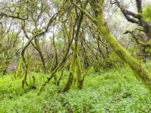 Laurel forest in fog, El Hierro, Canary Islands, Spain. Laurel forest in fog, El Hierro, Canary Islands in Spain royalty free stock photos