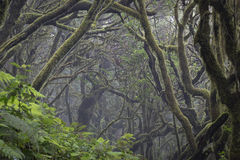 Laurel Forest. The foggy laurel forest on the volcanic island of La Gomera, Canary Islands. The Garajonay National Park is a UNESCO World Heritage Site royalty free stock image