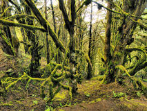 Laurel Forest. Laurisilva - Laurel Forest on Hierro, Canary Islands, Spain royalty free stock photos