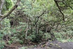 Laurel forest n anaga rural park , Tenerife.  stock photography