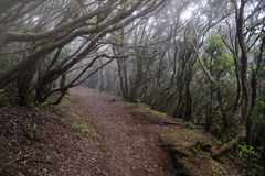 Laurel forest in tenerife. Anaga rural park in Tenerife Canary Islands Stock Image