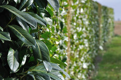 Laurel hedge Stock Images