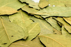 Laurel leaf Royalty Free Stock Image