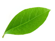 Laurel leaf. Isolated on white background Stock Photos