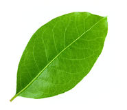 Laurel leaf Royalty Free Stock Photography