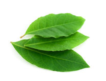 Laurel leaf Royalty Free Stock Photos