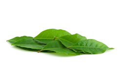 Laurel leaf Stock Image