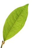 Laurel leaf. Isolated laurel leaf in sun rays royalty free stock photography