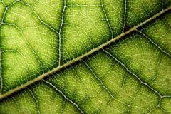 Laurel leaf. A close-up of a laurel leaf stock photo