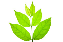 Laurel leaf Stock Photography
