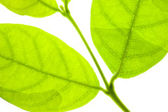 Laurel leaf Royalty Free Stock Images