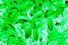 Laurel leaf pattern. Pattern created from laurel leaves Royalty Free Stock Photos