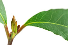Laurel leave Stock Photography