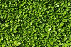 Laurel leaves. Hedge of green laurel bushes stock photo