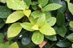 Laurel leaves. Bay leaf, after the rain Royalty Free Stock Photo