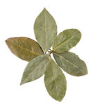 Laurel leaves. On white with clipping path Royalty Free Stock Images