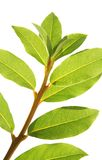 Laurel leaves Royalty Free Stock Images