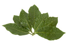 Laurel leaves Royalty Free Stock Image