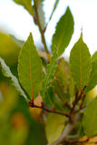 Laurel Leaves Branch. Branch of green laurel tree with leaves Royalty Free Stock Photo