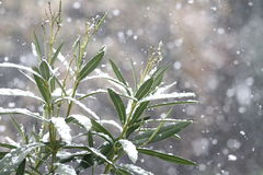 Laurel leaves and branches under snow Royalty Free Stock Image
