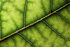 laurel liści, Zdjęcie Stock