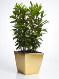 Laurel plant in golden pot Stock Photos